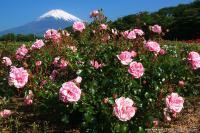 富士山とバラ