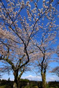 4月8日の桜と富士