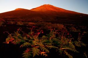 フジアザミと紅富士山