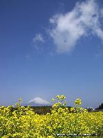黄砂霞富士