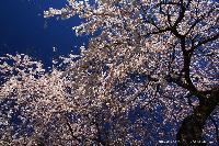 富士宮のしだれ桜