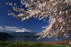 河口湖の桜と富士
