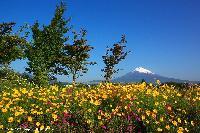 初夏の花々と富士
