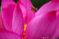 蓮の花&蜂