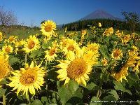 ヒマワリと富士山