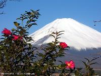 山茶花と富士