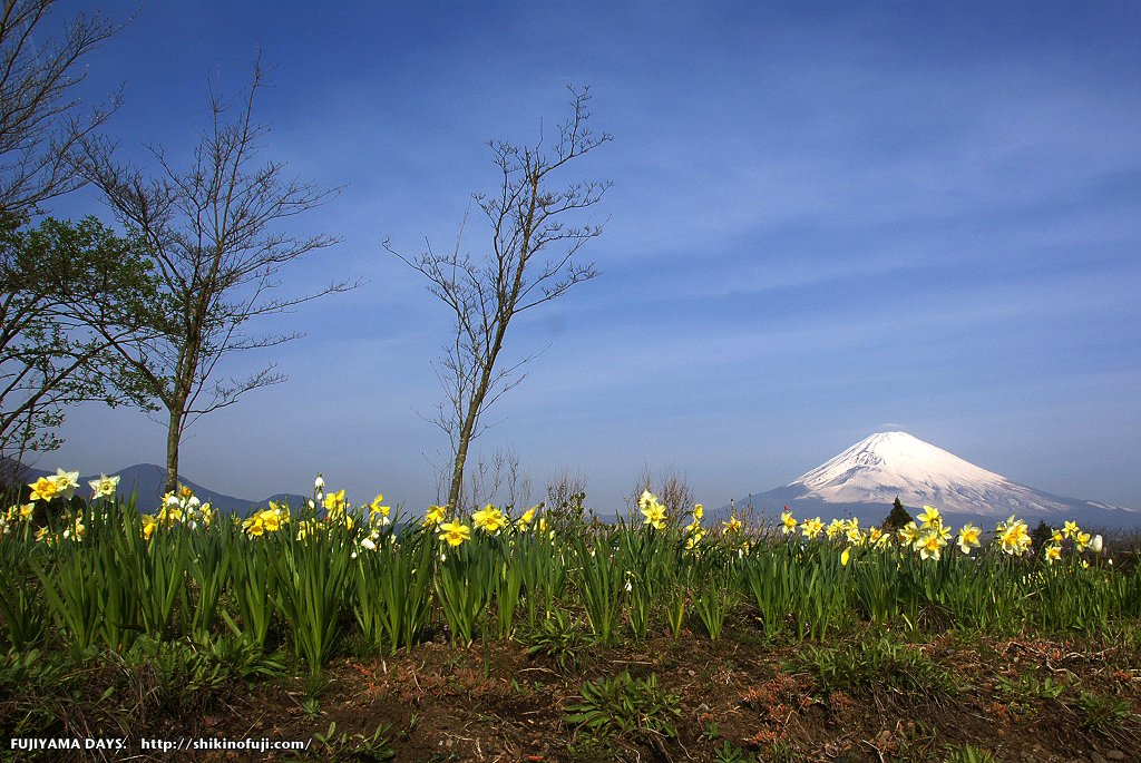 スイセンと富士山