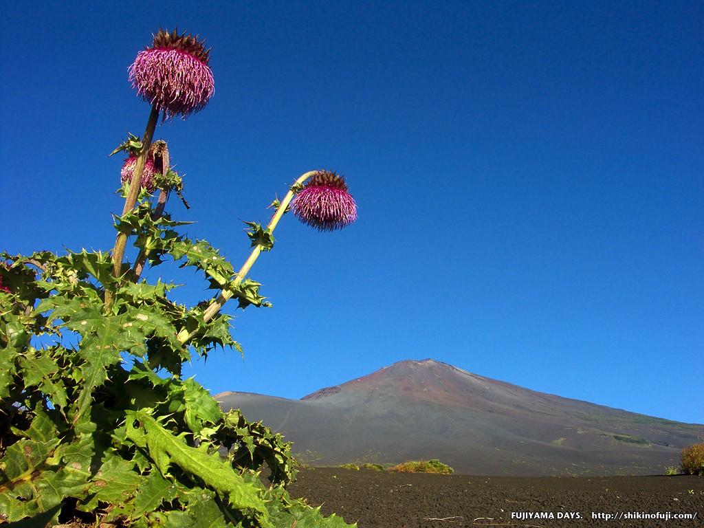 9月 フジアザミと富士山