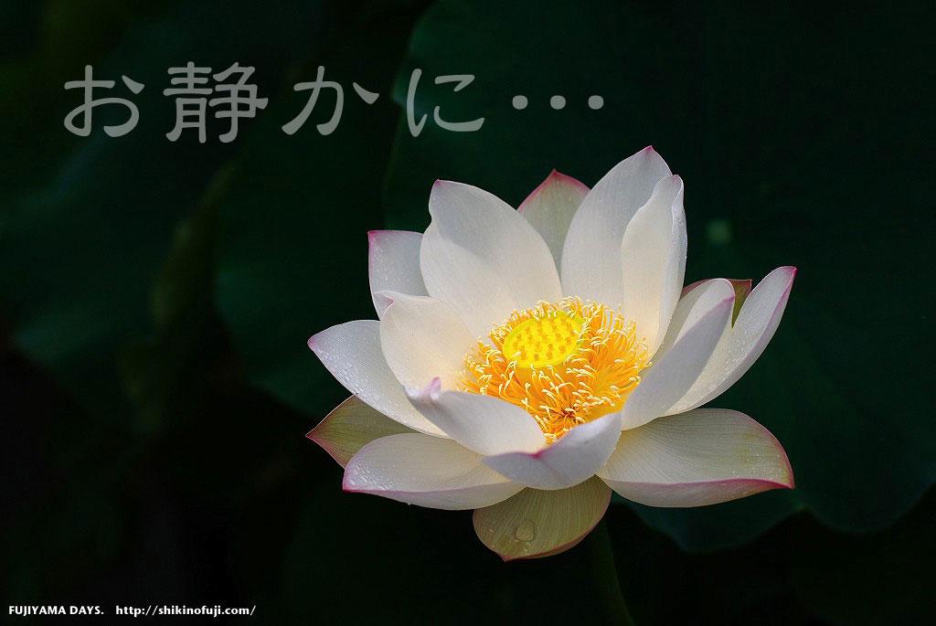 お静かに(蓮の花)