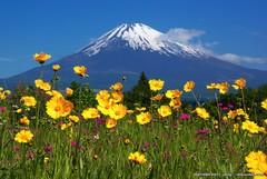 金鶏菊と富士山