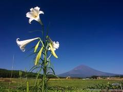 白ユリと富士山